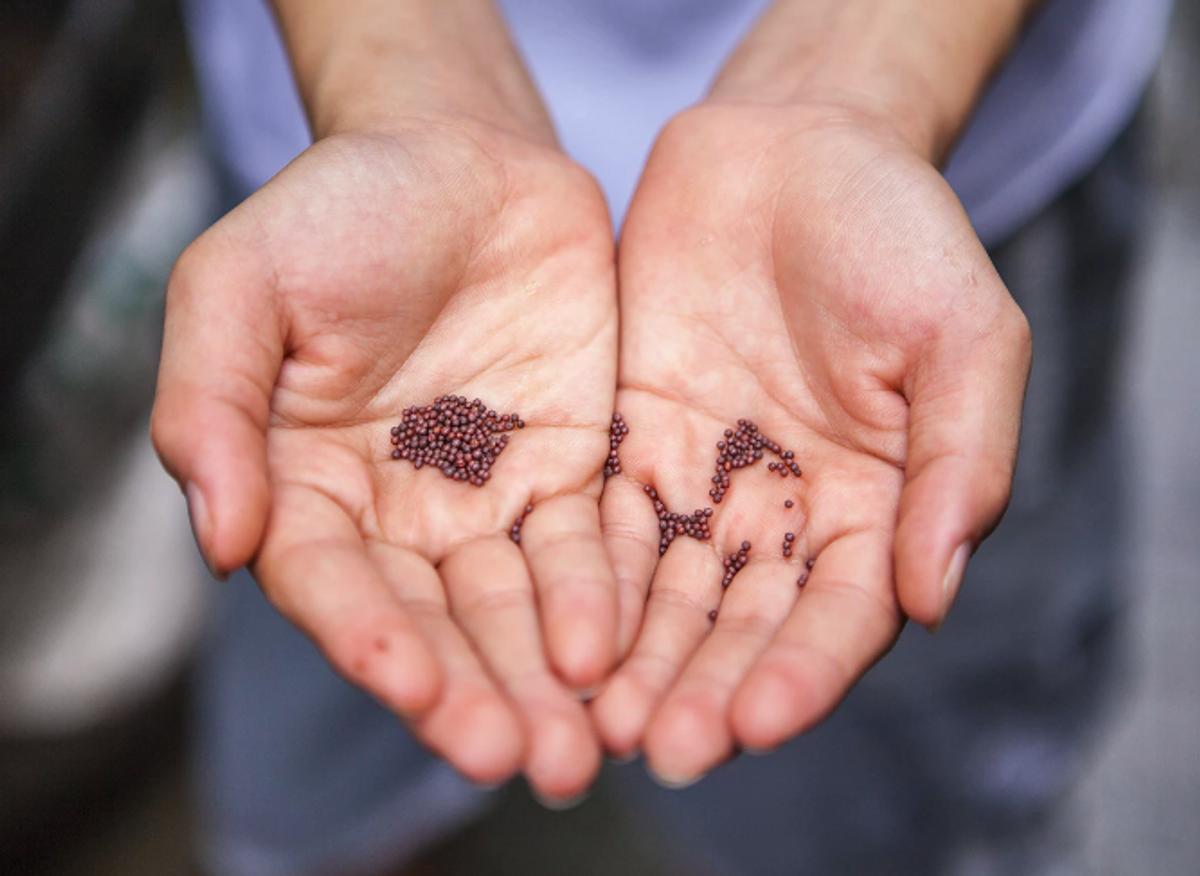 Les semences traditionnelles enfin en vente et échange libre