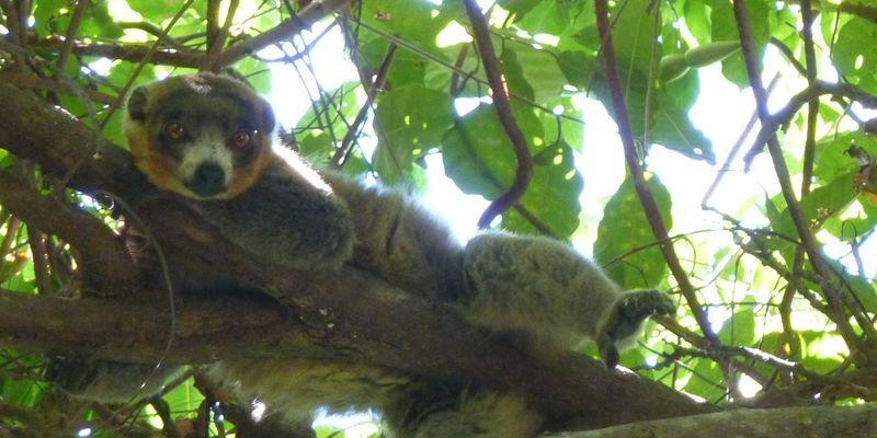 un lémurien allongé