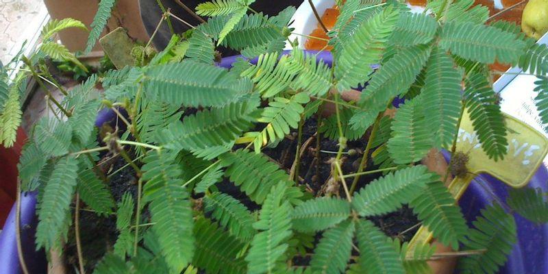 mimosa pudique