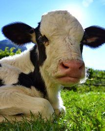 Vache viande