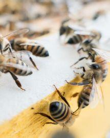 envoyé spécial un monde sans abeilles