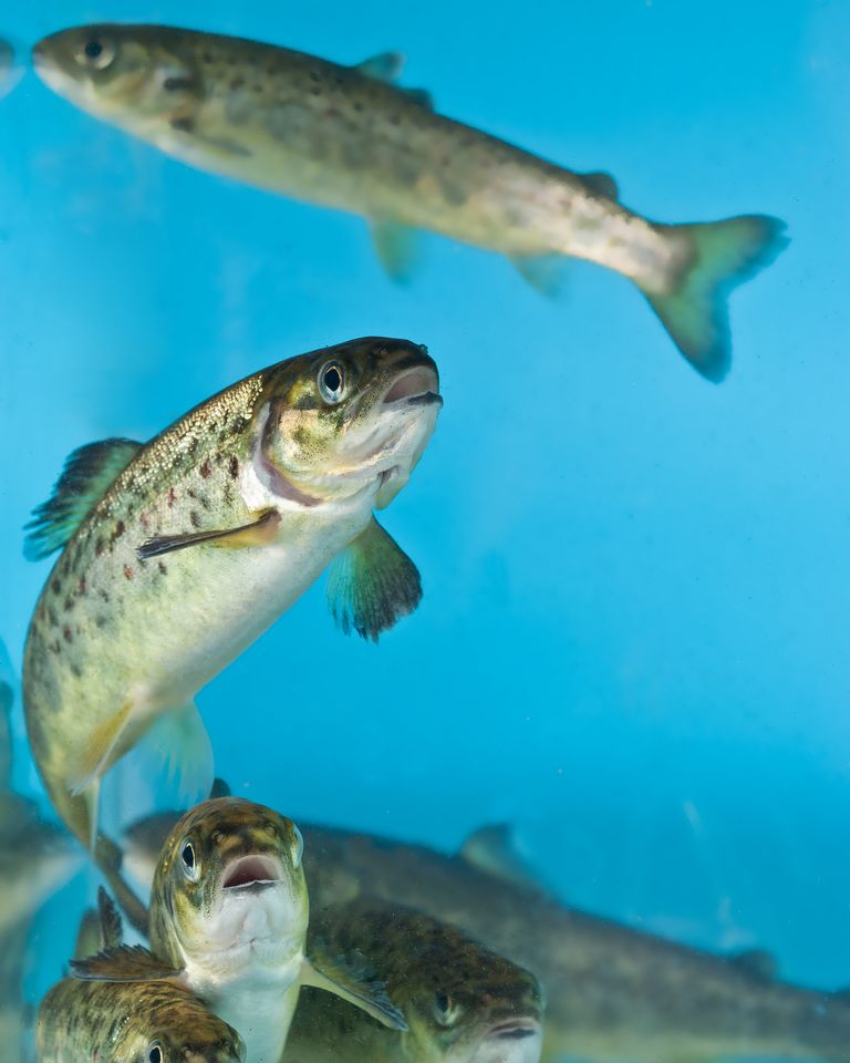poisson mer saumon eau