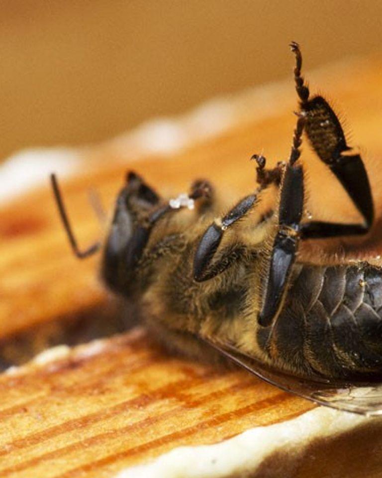 ruche abeille morte