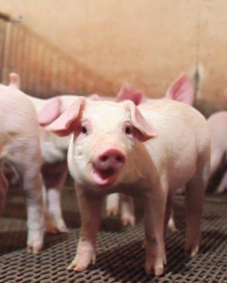 porc élevage intensif