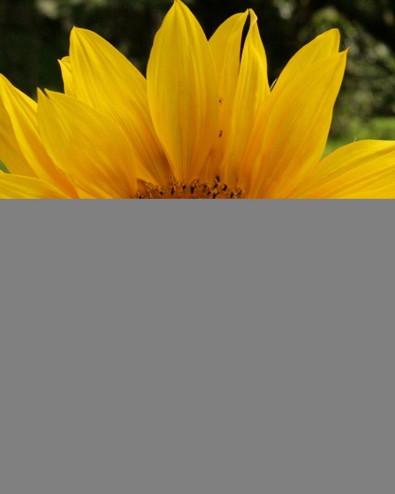 La géométrie cachée des fleurs