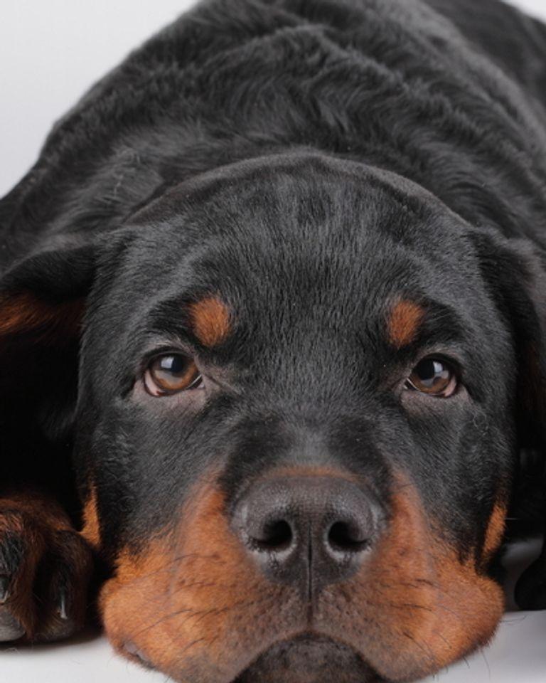 chien boxer animal droit bien