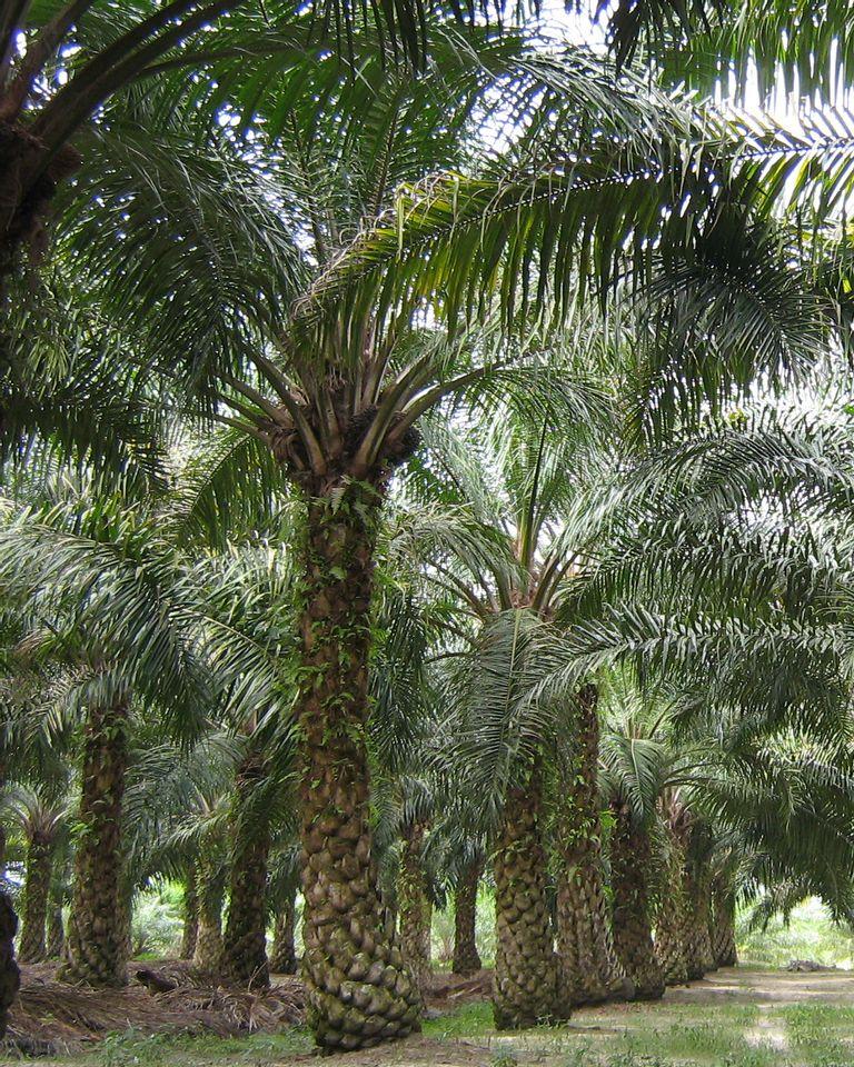 plantation huile de palme malaisie