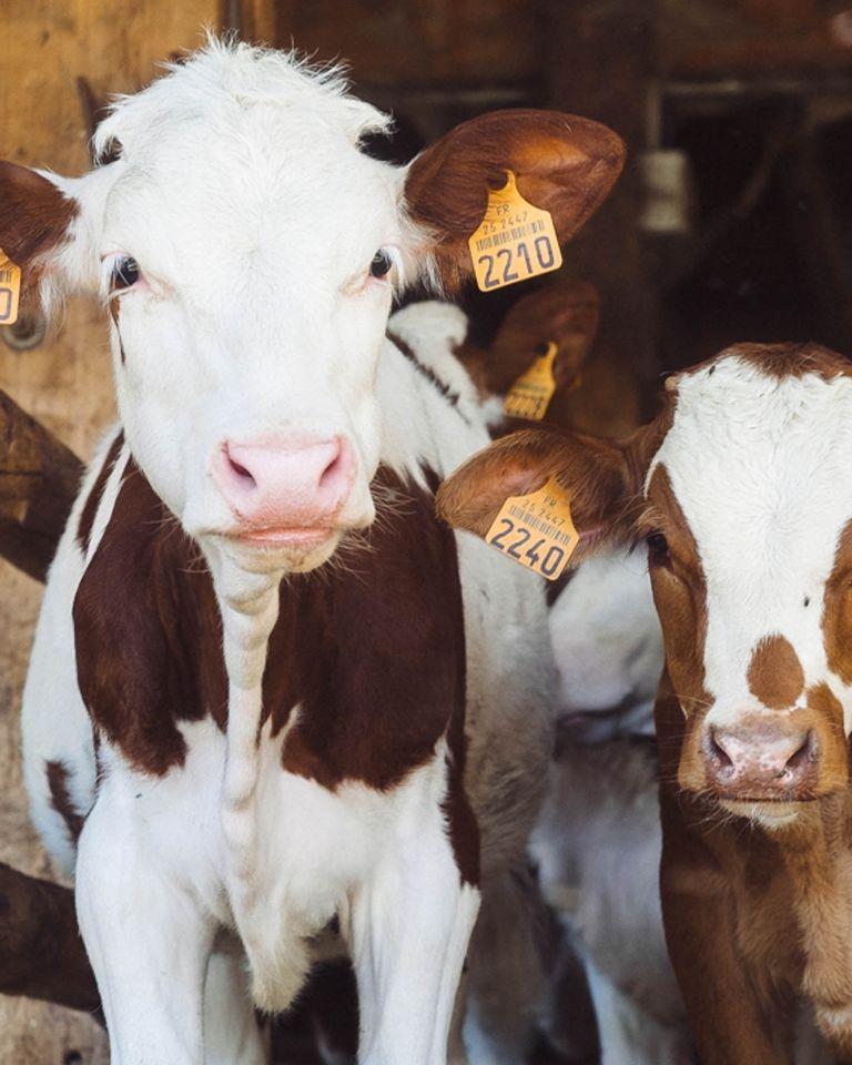 vache elevage