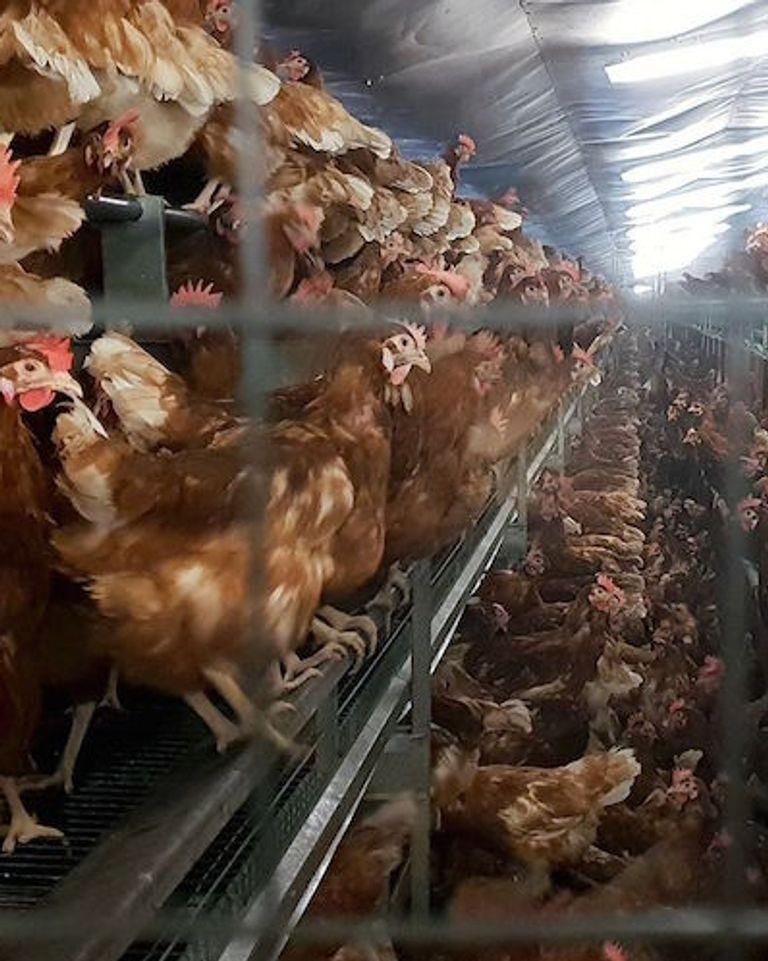 Pauvres poulets élevage intensif