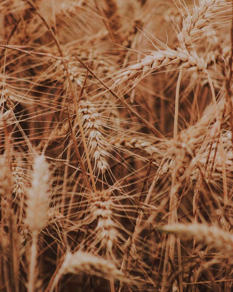 maladie coeliaque : ce que vous ignorez