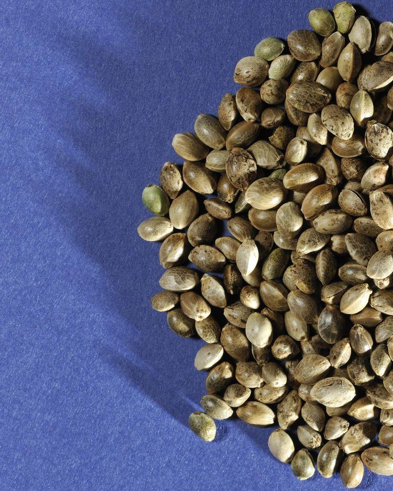 graines de colza