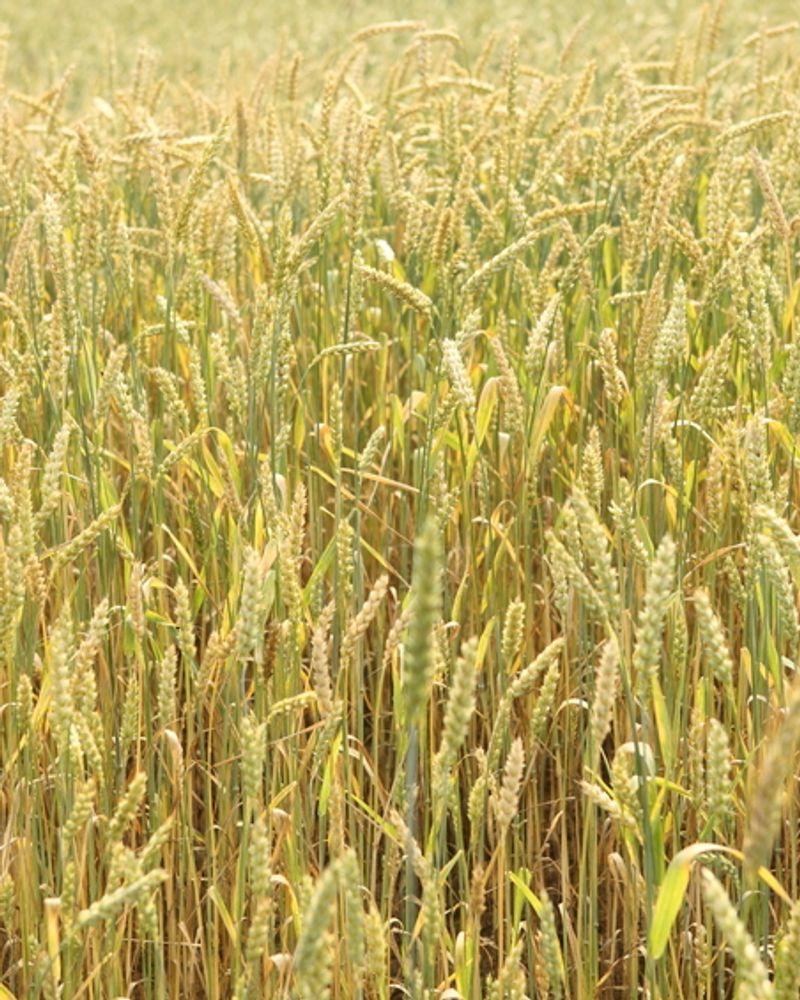 champ bio blé