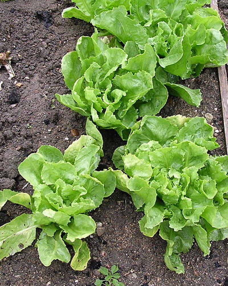 laitue batavia salade