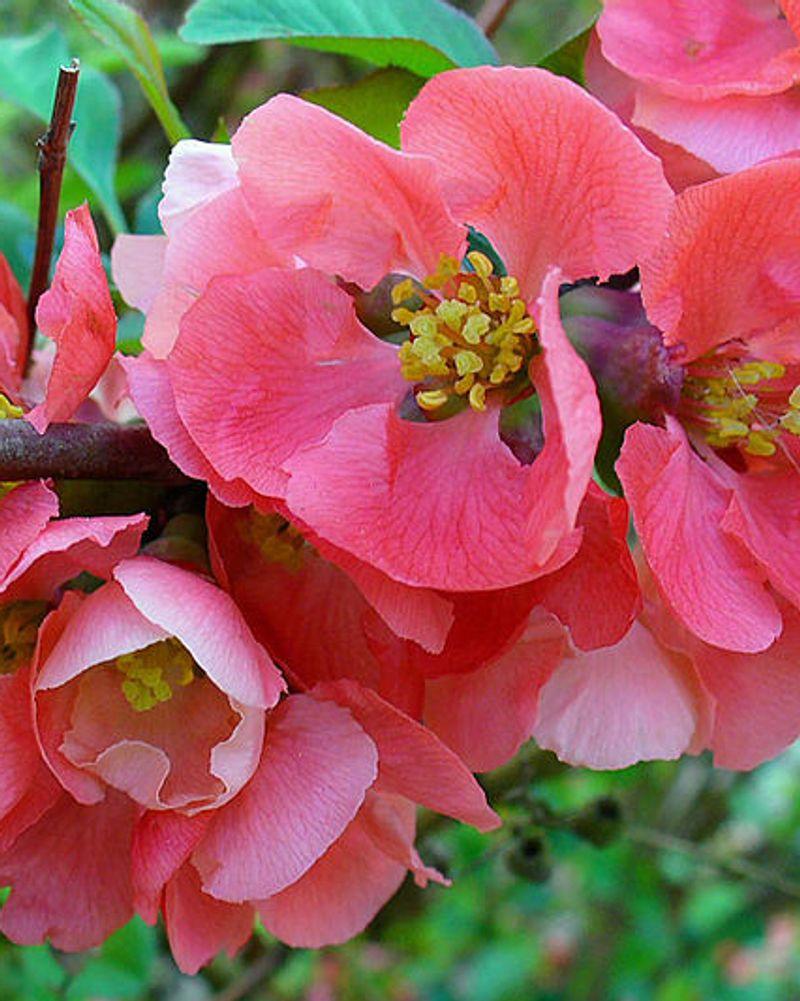cognassier du japon fleur printemps