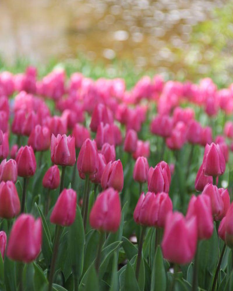 tulipe fleur printemps