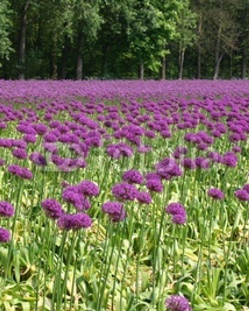 ail ornement fleur printemps