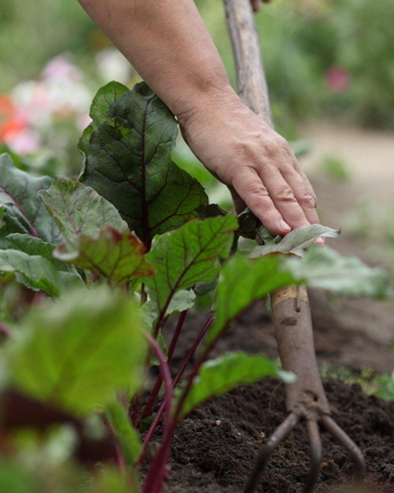potager jardin salade bio