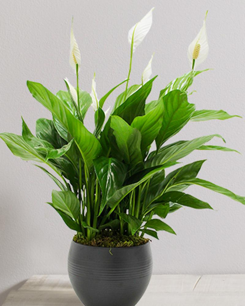 plante dépolluante spathiphyllum