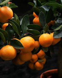 Clémentinier : Les conseils pour planter les agrumes dans un climat tempéré