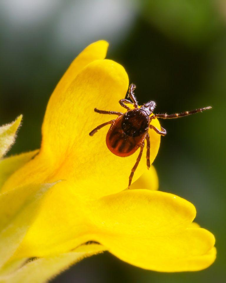 Maladie de Lyme : symptômes et traitement