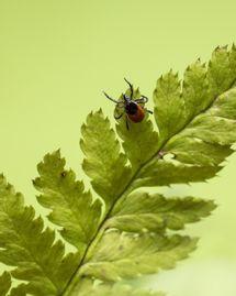 Maladie de Lyme et remèdes naturels