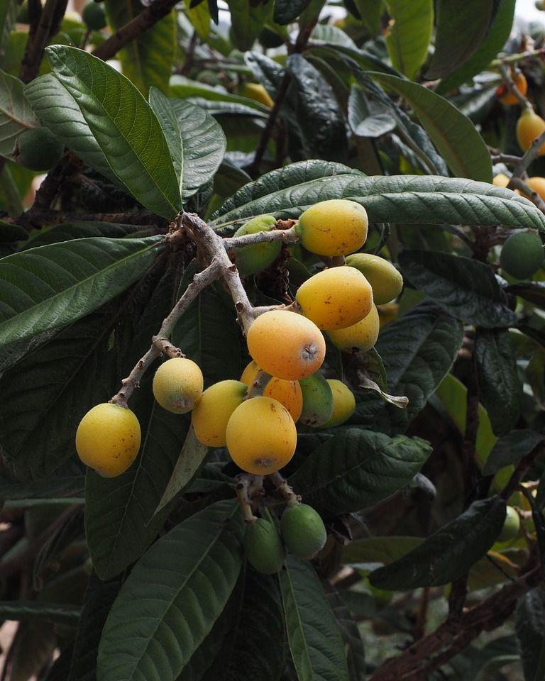 La nèfle du japon, un fruits aux nombreuses vertus